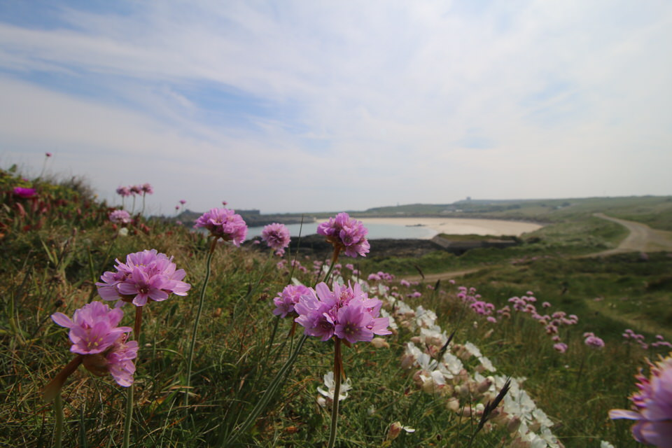 beautiful purple thrift flowers at Alderney beach